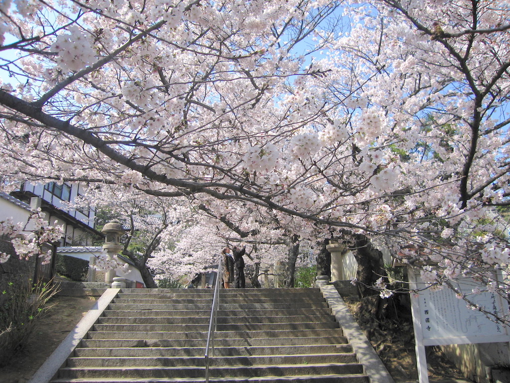 尾道の「桜」事情/CherryBlossoms