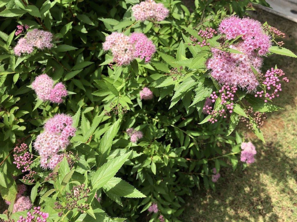 小さな庭の六月の花たち/Juneflowers