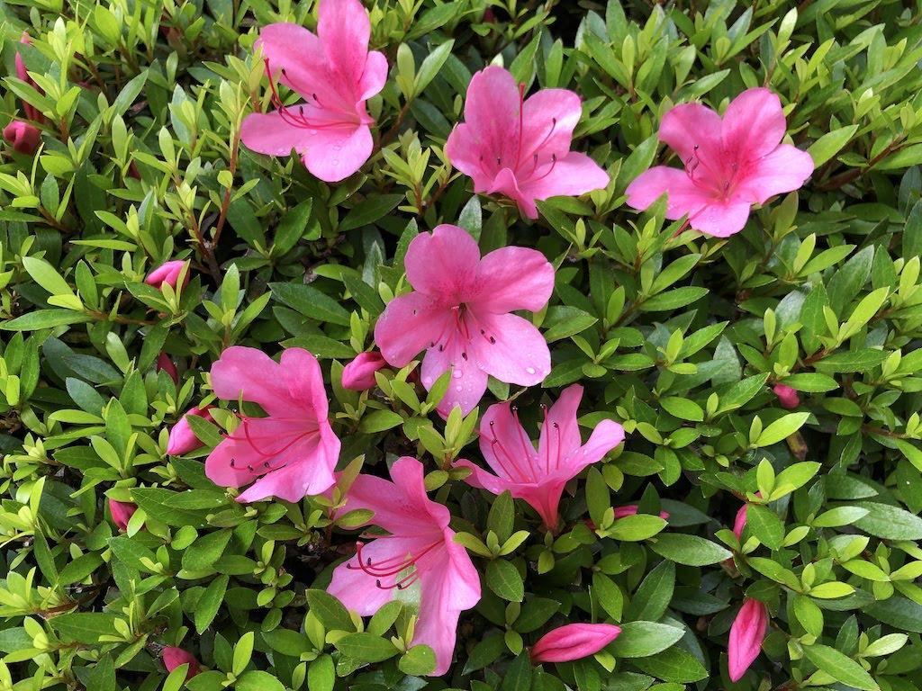小さな庭の五月の花たち/Mayflowers